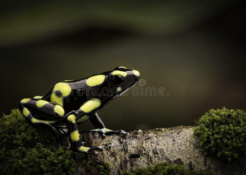 热带毒物箭青蛙在亚马逊雨林哥伦比亚里 库存图片