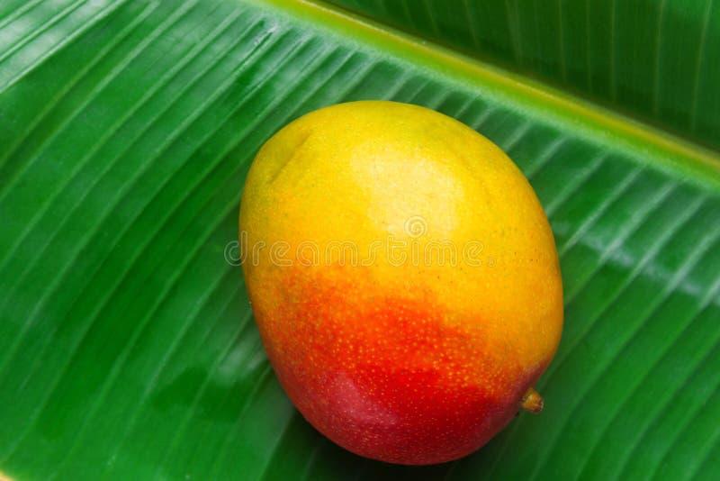 热带水果自然背景 在大绿色棕榈叶树的成熟水多的五颜六色的红色黄色芒果与水下落 免版税库存图片