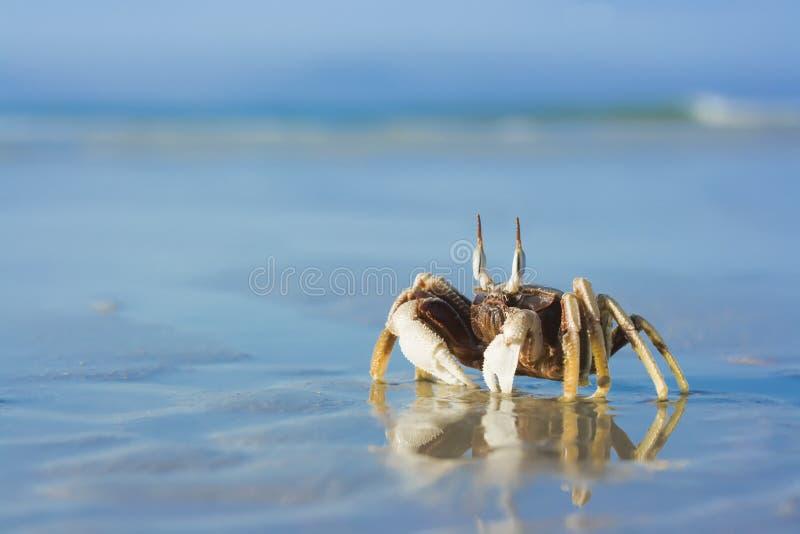 热带海滩的螃蟹 图库摄影
