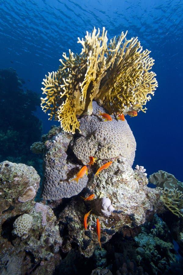 热带海珊瑚 免版税图库摄影