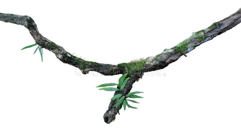 热带潮湿森林epiphytes蕨、青苔和地衣在白色bacground隔绝的老被风化的密林树枝增长, 免版税库存照片