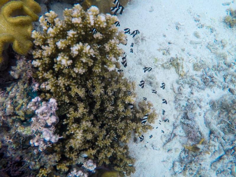 热带珊瑚鱼的礁石 雀鲷殖民地水下的照片 免版税图库摄影