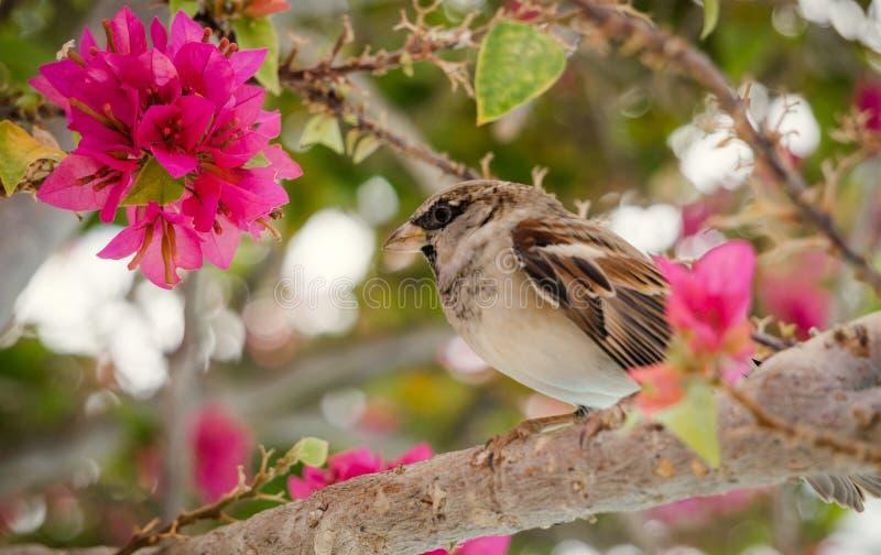 热带的庭院 麻雀和开花的九重葛 库存图片