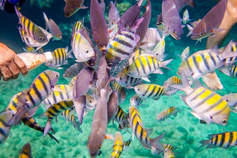 热带的珊瑚礁 人喂养热带鱼 免版税库存图片