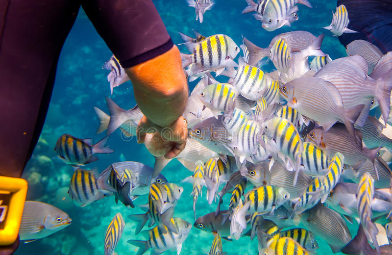 热带的珊瑚礁 人喂养热带鱼 免版税图库摄影