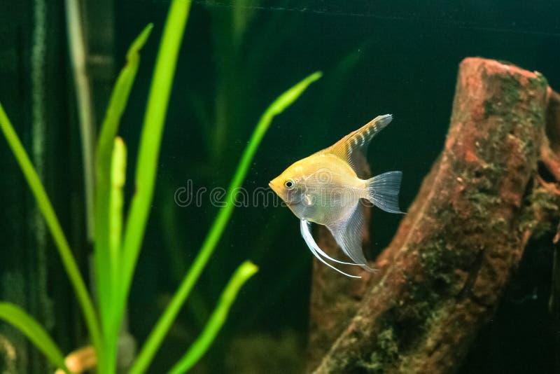 热带的神仙鱼 图库摄影