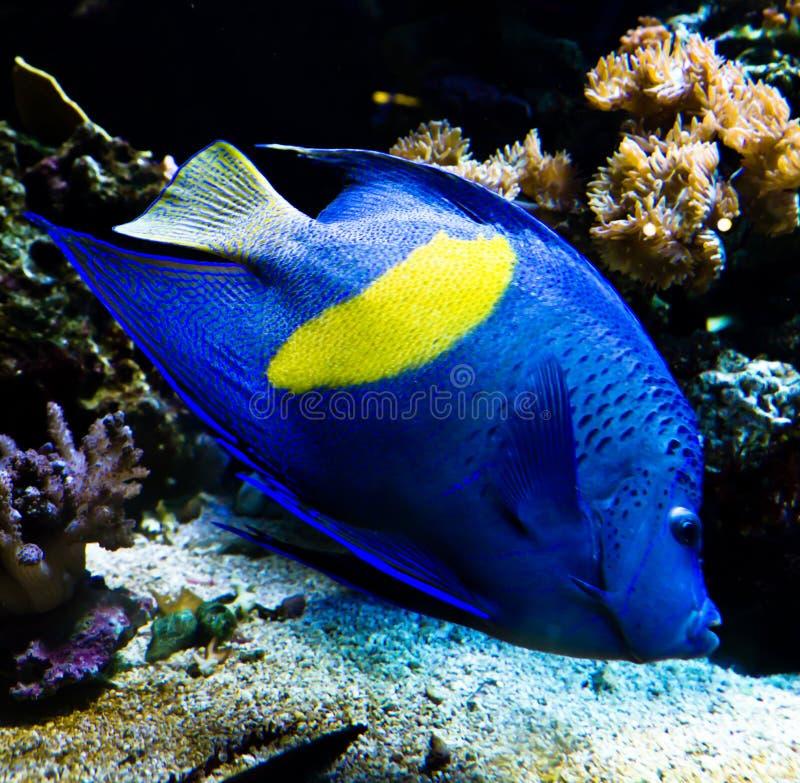 热带的蝴蝶鱼 库存图片