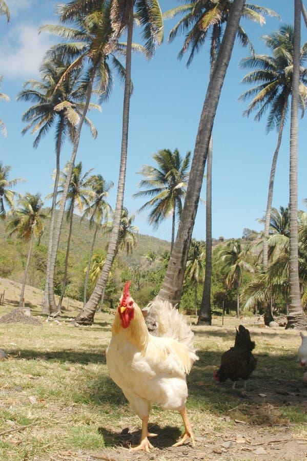 热带的鸡 库存照片