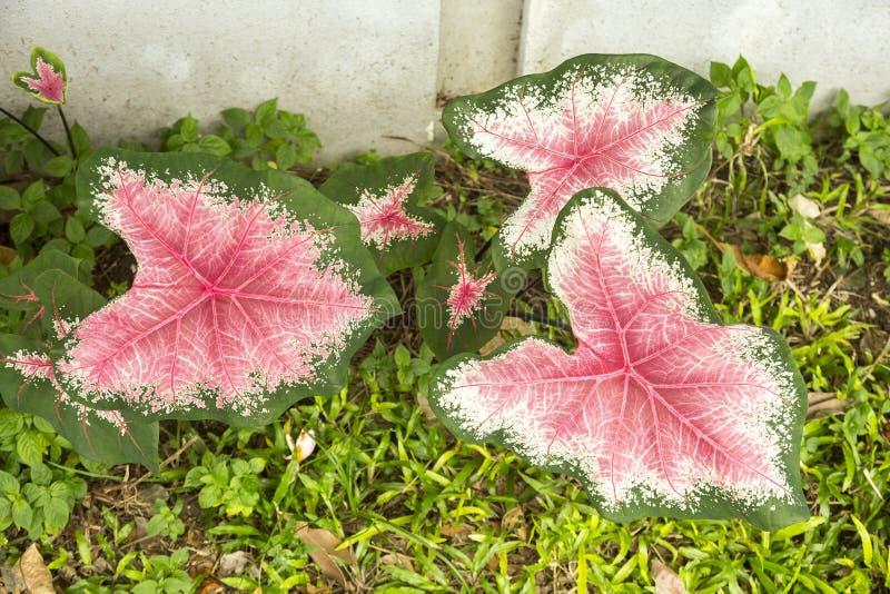 热带秋海棠植物 免版税库存照片