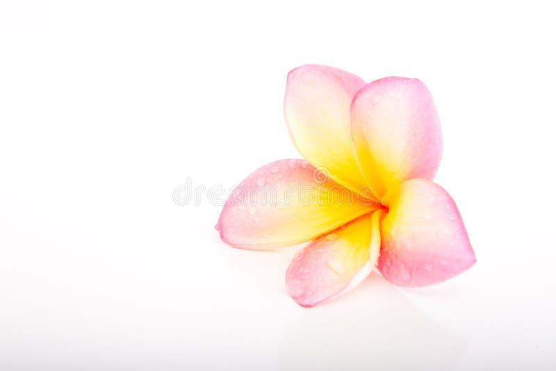 热带粉红彩笔和黄色赤素馨花花 库存图片
