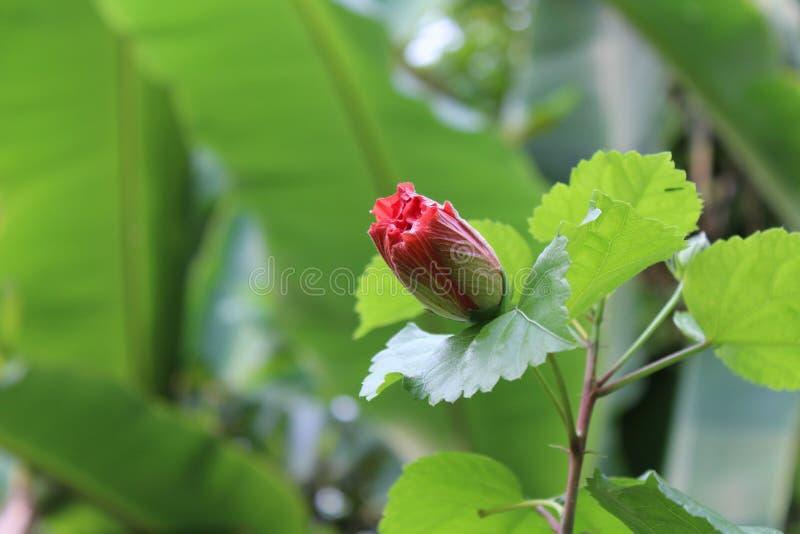热带红色木槿花蕾 免版税库存图片