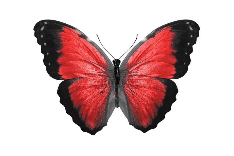 热带红色蝴蝶 查出在白色 库存例证
