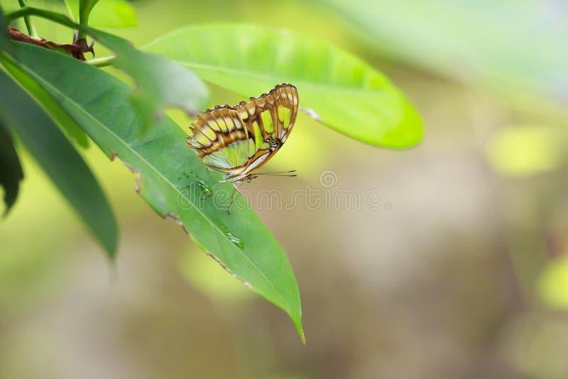 热带绿沸铜蝴蝶Siproeta stelenes 免版税图库摄影