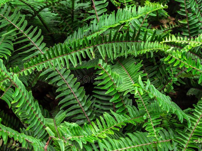 热带绿色灌木nephrolepis exaltata剑蕨顶视图纹理  金伯利女王/王后蕨灌木 库存图片