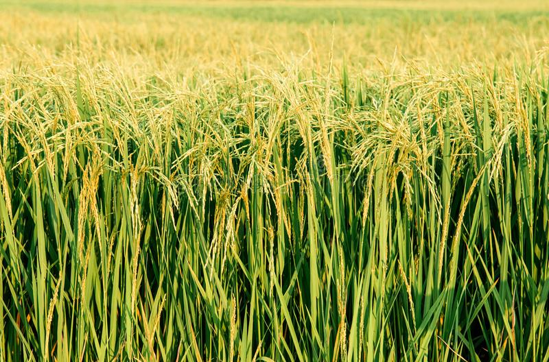 热带绿色米领域Detial在酸值Tepo, Uthaithani, Tha的 库存照片