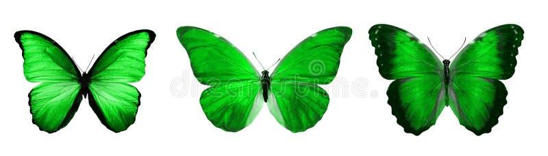 热带绿色蝴蝶 查出在白色 皇族释放例证