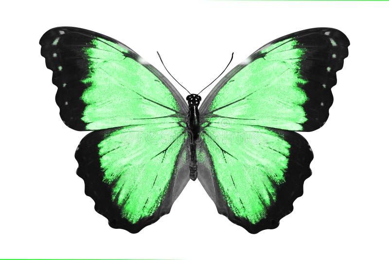 热带绿色蝴蝶 查出在白色 库存例证