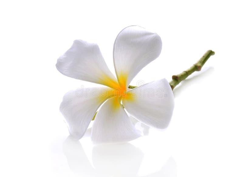 热带花赤素馨花(羽毛)在白色backgro 免版税图库摄影