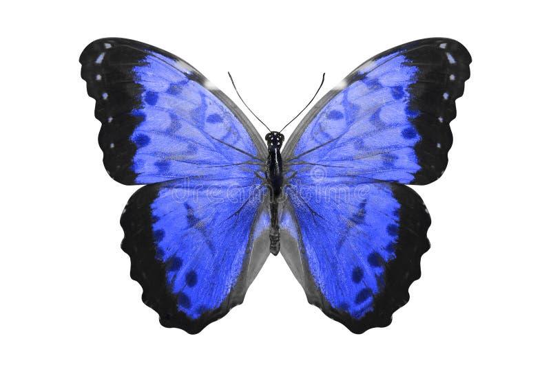 热带蓝色的蝴蝶 查出在白色 库存例证
