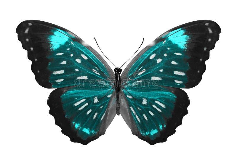 热带蓝色的蝴蝶 查出在白色 皇族释放例证