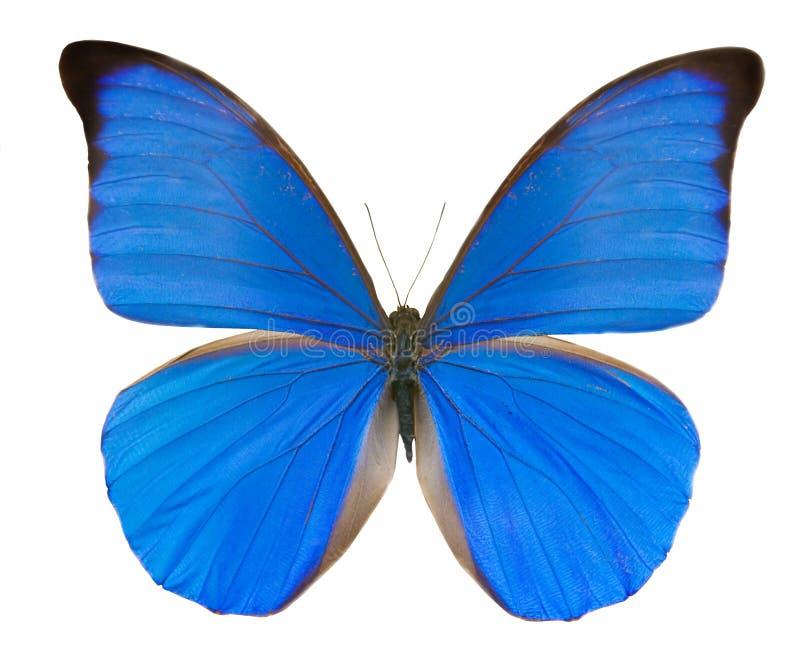 热带蓝色的蝴蝶 免版税库存照片