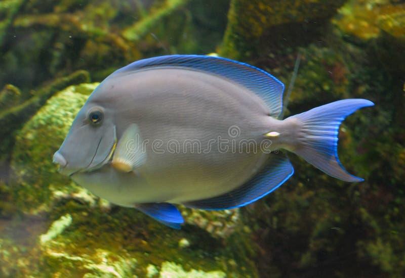 热带蓝色的鱼 库存照片