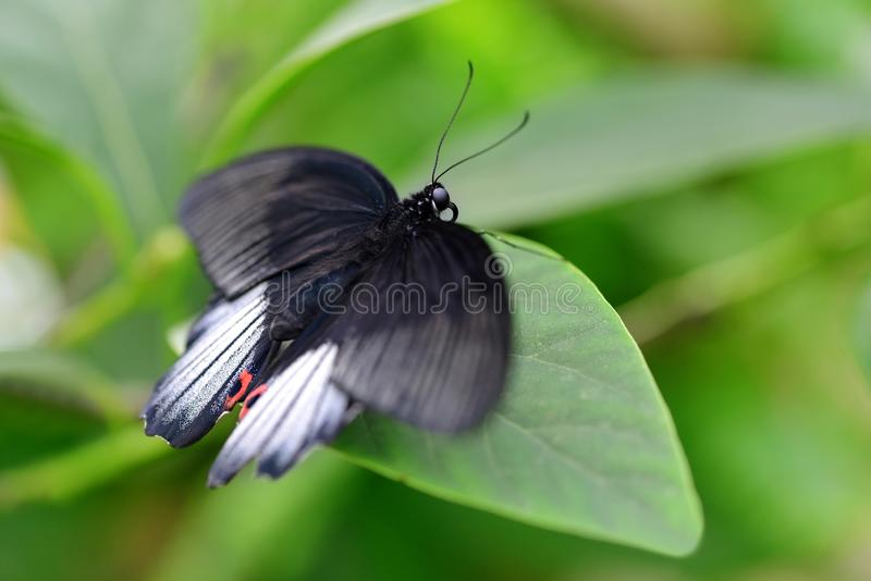 热带蝴蝶巨大摩门教徒Papilio memnon坐叶子 库存图片