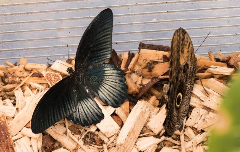 热带蝴蝶Papilio memnon,了不起的摩门教徒 两黑暗的蝴蝶 库存图片