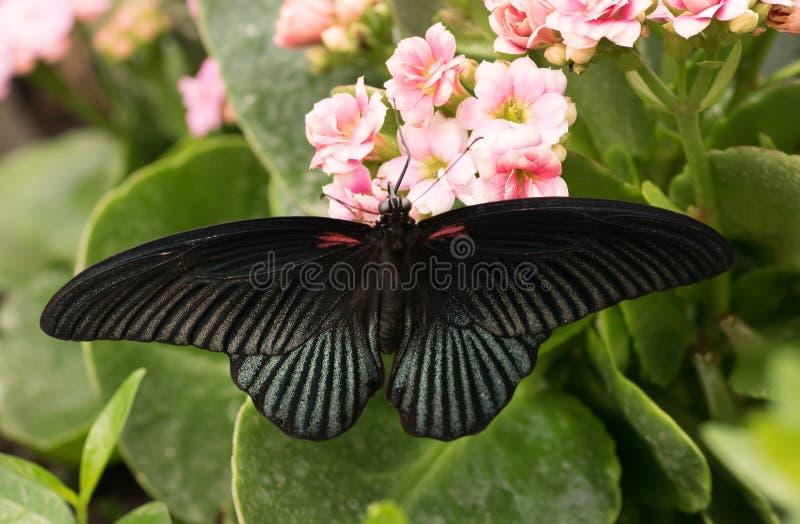 热带蝴蝶Papilio memnon,了不起的摩门教徒 免版税库存图片