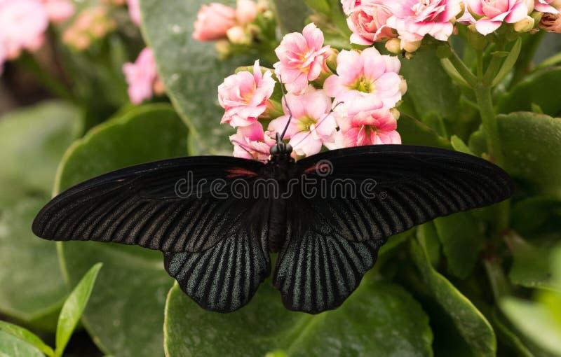 热带蝴蝶Papilio memnon,了不起的摩门教徒 免版税库存照片