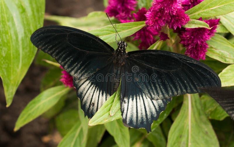 热带蝴蝶Papilio memnon,了不起的摩门教徒 库存图片