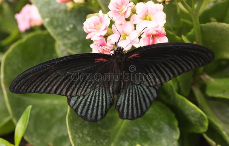 热带蝴蝶Papilio memnon,了不起的摩门教徒 图库摄影