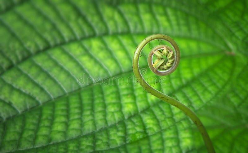 年轻热带螺旋蕨特写镜头 免版税库存图片