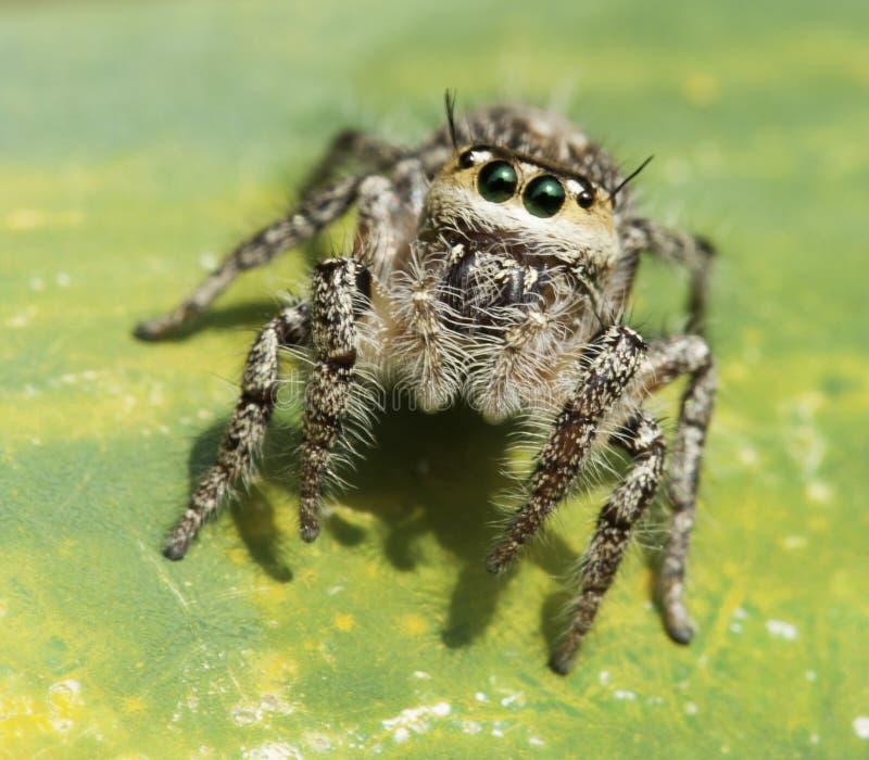 热带跳的蜘蛛 库存图片