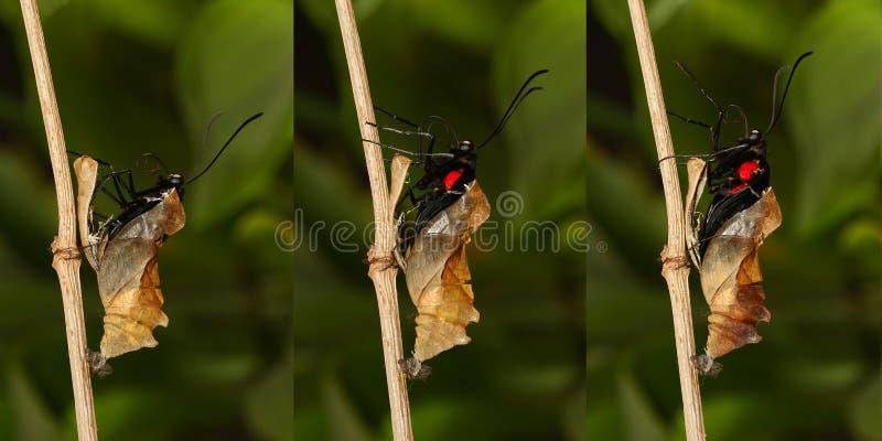 热带金黄birdwing的butterf涌现和变形  免版税图库摄影