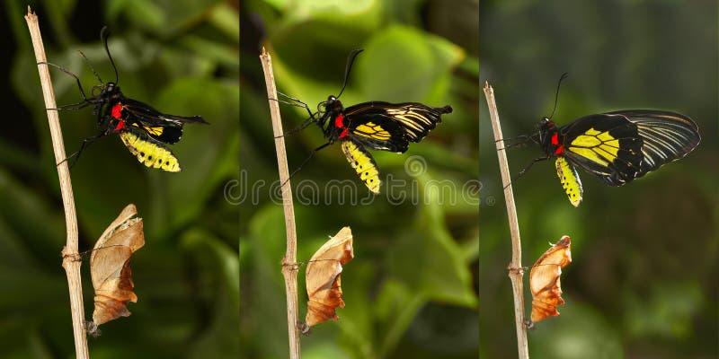 热带金黄birdwing的butterf涌现和变形  免版税库存照片