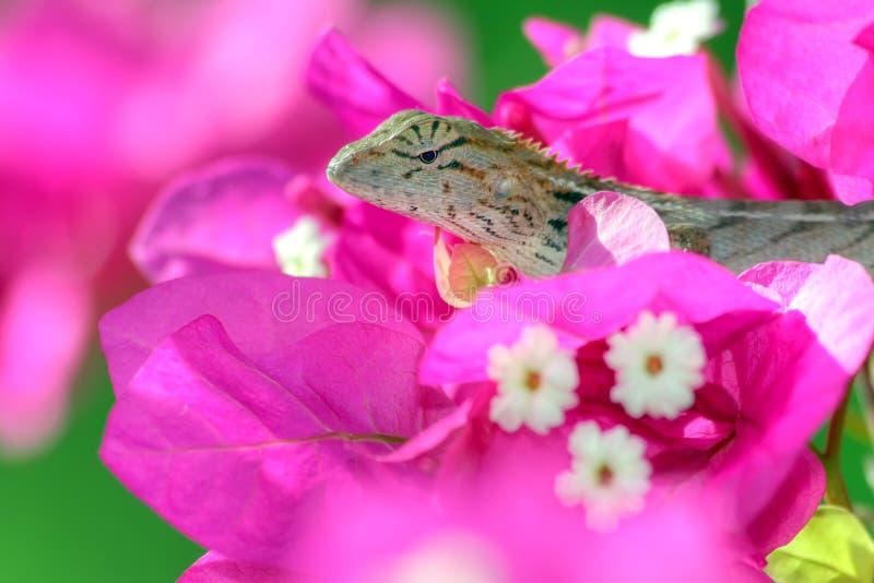 热带隐藏的蜥蜴 免版税库存照片