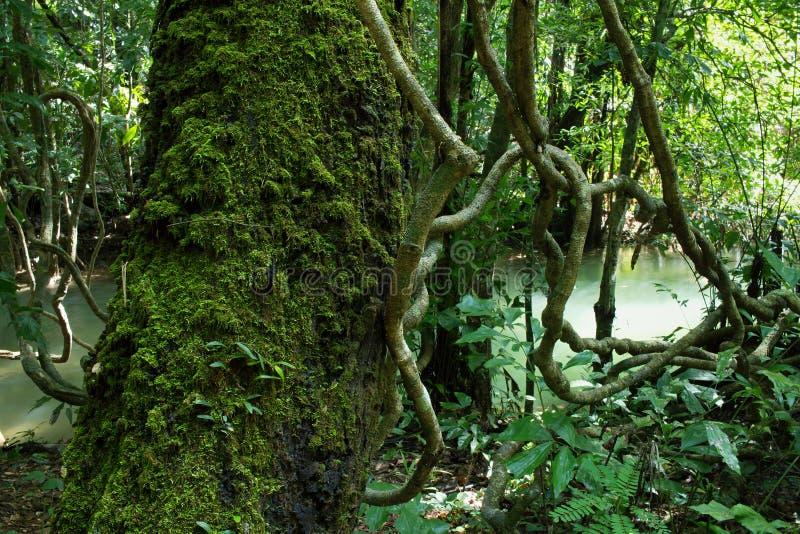 热带雨林的河 免版税库存照片