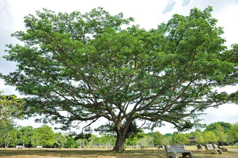 热带雨豆树 库存图片
