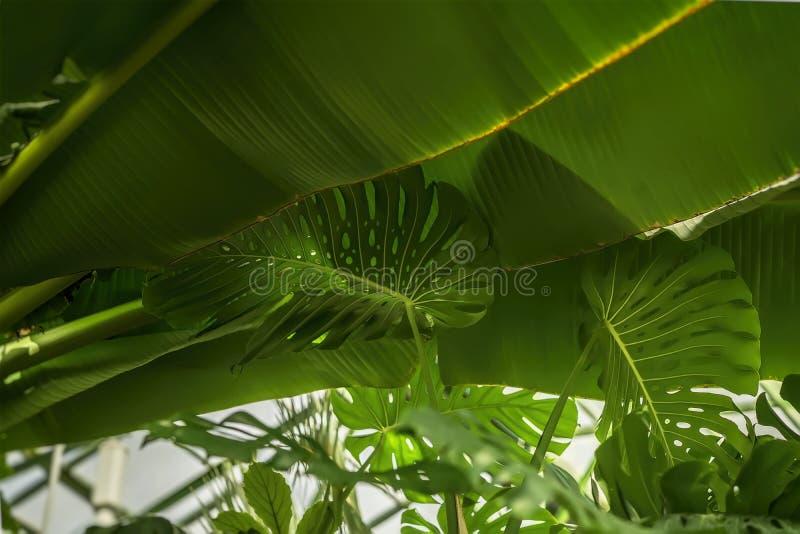 热带香蕉叶子, Monstera离开与纹理 抽象样式,自然异乎寻常的绿色背景 免版税图库摄影