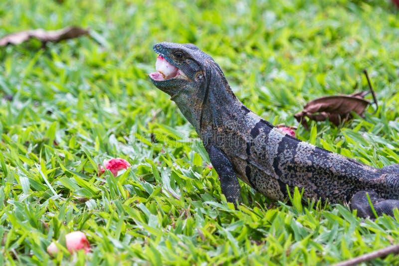 热带鬣鳞蜥在哥斯达黎加 库存图片