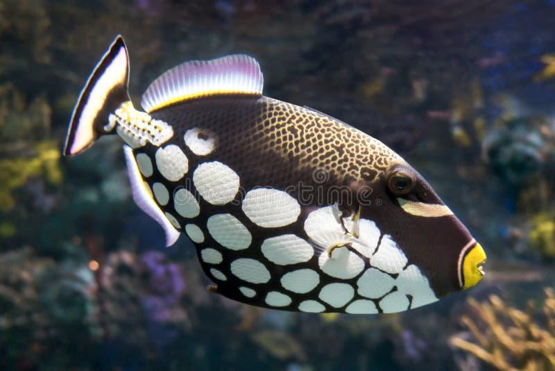 热带鱼、小丑引金鱼- Balistoides conspicillum -海和海洋钓鱼 图库摄影