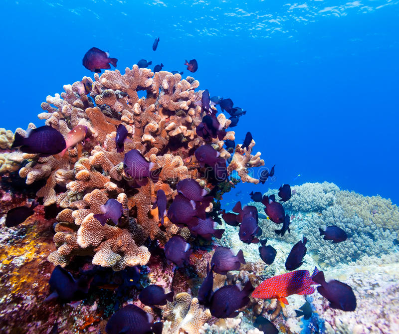 热带鱼临近五颜六色的珊瑚礁 免版税图库摄影