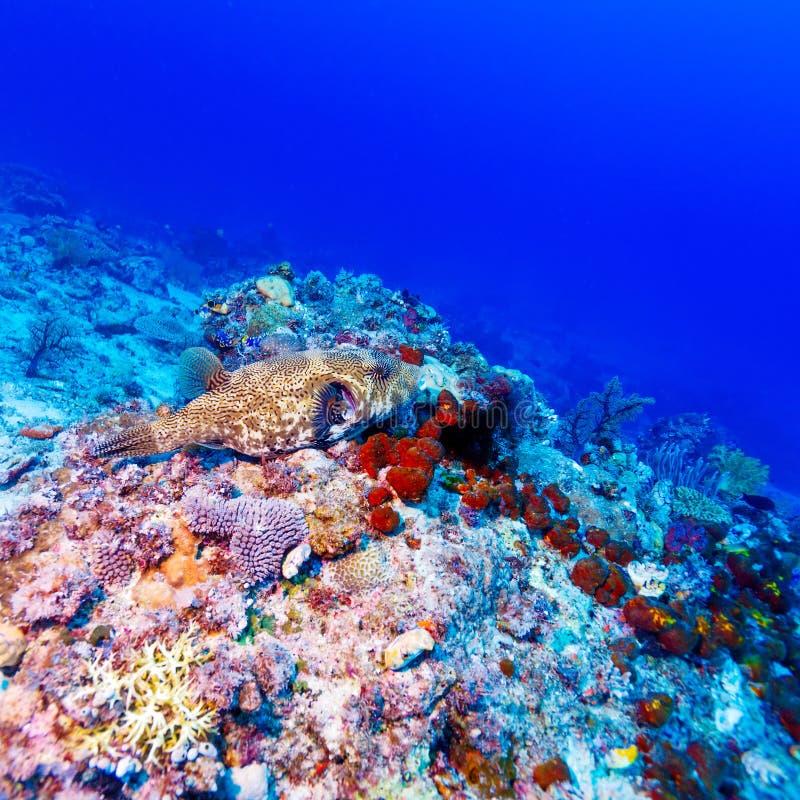 热带鱼临近五颜六色的珊瑚礁 免版税库存图片