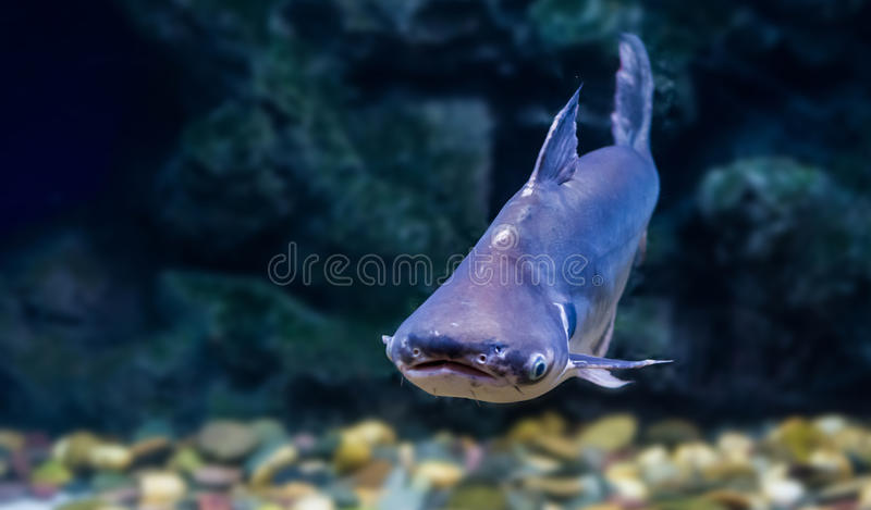 热带鱼在河东南染黑耳朵鲶鱼,生活 免版税库存图片