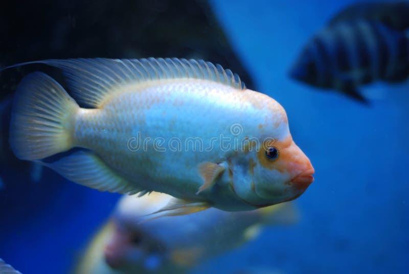热带鱼在蓝色海运 库存图片