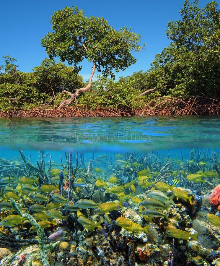 热带鱼的美洲红树 库存照片