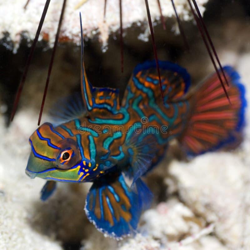热带鱼的mandarinfish 免版税库存图片