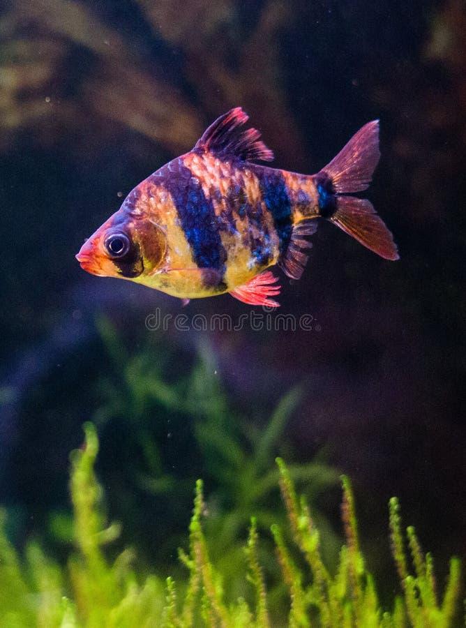 热带鱼-老虎巴勃 库存照片