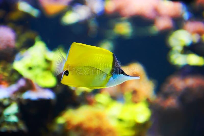 热带鱼临近珊瑚礁 免版税库存照片